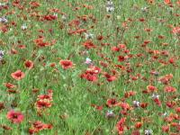 The wide open fields yield a thick blanket of wildflowers.