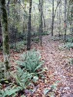 Christmas Ferns at Atlanta State Park