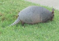 Armadillo seen at Arbor Hills Nature Preserve