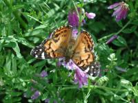 The bountiful wildflowers drew a large number of butterflies to the area.