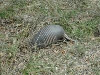 A large number of Armadillos were observed along the trail.