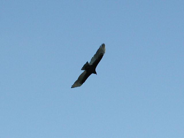 Turkey Buzzard