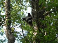 A daytime sighting of a racoon along the trail was an unexpected treat.