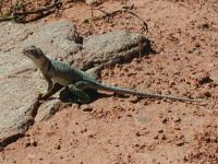 A Collared Lizard was sunning himself near an overlook along the trail.