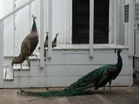 A female and male peacock watch over three chicks, and wait for food at the door.