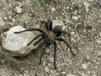 One of the many spiders we saw.  Yes, this Tarantula is THAT big.