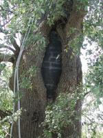 Treay Oak