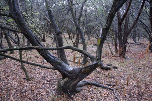 Twisted junipers